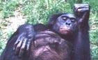 Brad_bonobo
